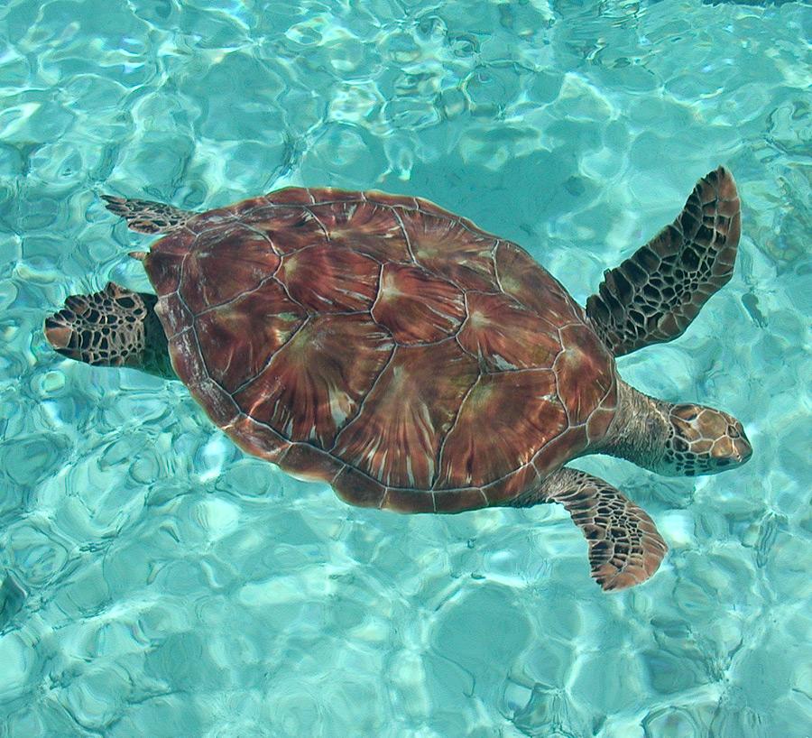 Hawaiian Green Sea Turtles Abound